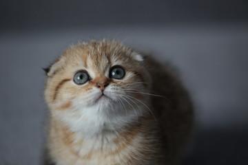 redhead kitten closeup