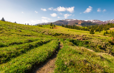 path along the grassy meadow in to the mountains. beautiful countryside with spruce forest in springtime