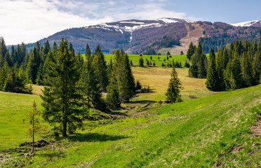 spruce forest on rolling hills in springtime. beautiful landscape with snowy tops of mountain ridge in the distance