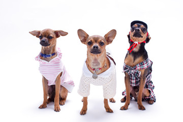 Three funny little dogs in studio. Cute russian toy-terriers and chihuahua dressed in fashion clothes isolated on white background, studio shot.