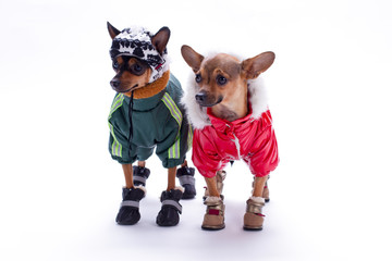 Russian toy terrier and chihuahua in clothes. Adorable tiny chihuahua and toy terrier dressed in winter sport suits, isolated on white background.