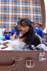 Portrait of toy-terrier in suitcase. Cute russian toy-terrier sitting in travel valise with clothes. Tiny pedigree dog ready for trip.