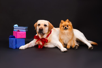 Lovely yellow labrador and pomeranian spitz. Cute blonde labrador retriever with red ribbon on neck and little pomeranian dog near gift boxes. Chistmas and holiday concept.