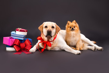 Beautiful dogs looking at camera. Cute purebred yellow labrador retriever and little pomeranian spitz with colorful gift boxes on black background, studio portrait.