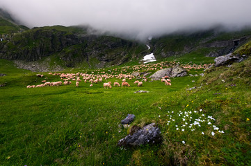 herd of sheep on a grassy meadow. grey cloud rolling in over the rocky cliff of mountain range. weather before storm