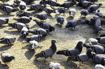 Pigeons feeding on bird seeds