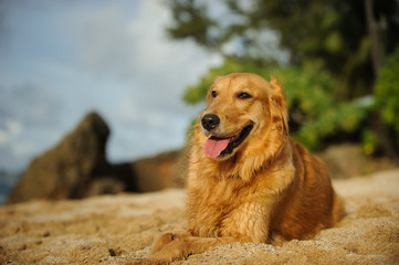 Golden Retriever dog outdoor portrait lying down on tropical beach