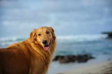 Golden Retriever dog outdoor portrait by ocean