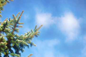 Winter forest. Spring is coming. Fir trees on a blue sky background. Sunny clear day.