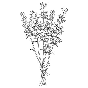 Vector bouquet with outline Lavender flower bunch and bud in black isolated on white background. Ornate perfume Lavender herb in contour style for summer design and coloring book.