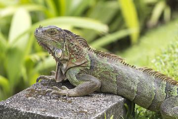 green iguana with huge crawls