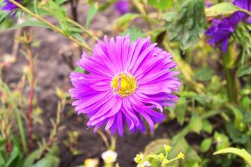 Purple chrysanthemum flower, close-up.  It grows in a beautiful garden.