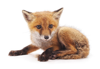 One little fox.
