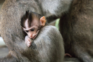 Close up of baby monkey in monkey forest Ubud, Bali, Indonesia.