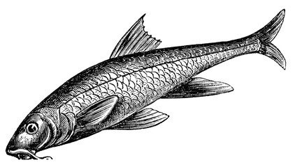 victorian engraving of a barbel fish