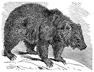 victorian engraving of a grizzly bear