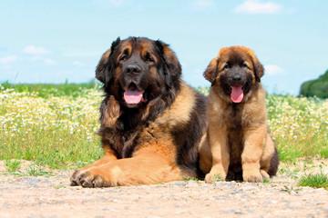 Typical Leonberger dog