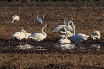 whooper swan (Cygnus cygnus),Mecklenburg Germany
