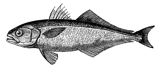 victorian engraving of a bluefish