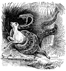 victorian engraving of a boa constrictor attacking a goat
