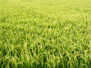 Paddy fields in the summer.