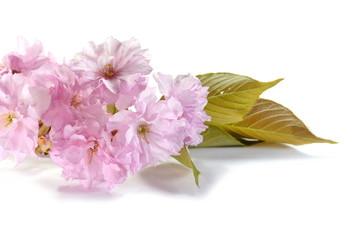 sakura flowers isolated on white.