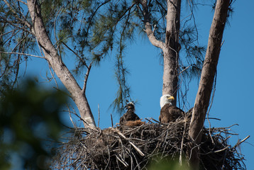 A bald eagle and an eaglet sit in their nest