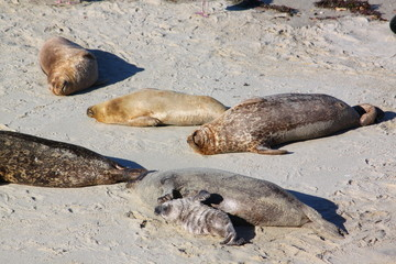 Mother California sea lions and their pups sunning themselves on a quiet beach