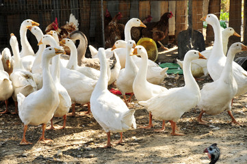 The yard white goose