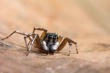 Macro spider brown