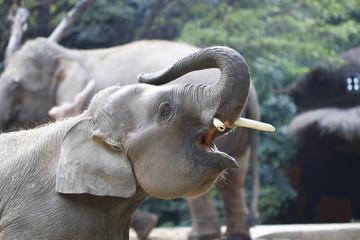 Elephant feeding in the zoo