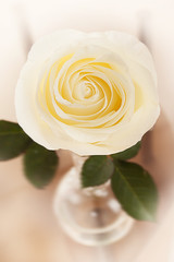 White rose in a glass vase
