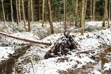 Entwurzelter Baum nach Wintersturm