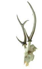 Hog deer skull isolated with clipping path.