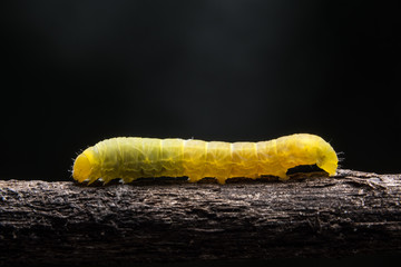Macro Worm on a Branch