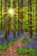 Keuken foto achterwand Weg in bos Famous forest Hallerbos in Brussels Belgium