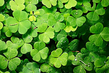 background green shamrock/ nature background, fresh green juicy color, shamrock plant