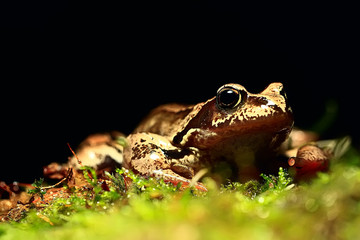 frog / nature background animal, frog sits on green moss, in nature, concept ecology