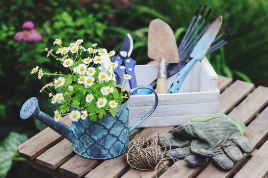 garden work still life in summer. Chamomile flowers, gloves and toold on wooden table outdoor in sunny day with flowers blooming on background.