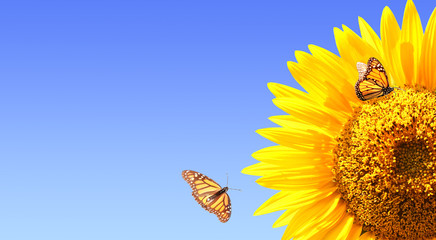 Fototapete - Sunflower and monarch butterflies on blue sky background