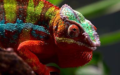 chameleon close-up on a branch
