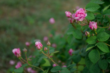 Bush of climbing roses on green background