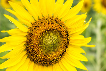 bigsunflower