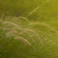 The grass bloom