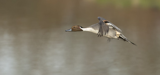 Pintail Duck in flight