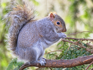 Close up of a Grey Squirrel sitting in a Fir Tree eating.
