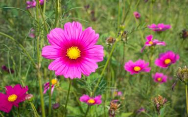 Cosmos Flower Field 04