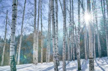 The sun in a birch grove