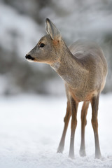 Roe deer in winter with forest background