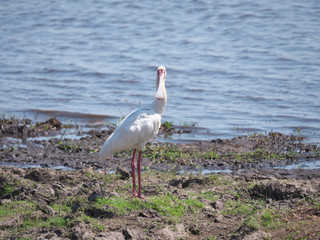 Chobe national park,Botswana-August 18, 2016: Eurasian spoonbill or Platalea leucorodia in the Chobe national park, Botswana